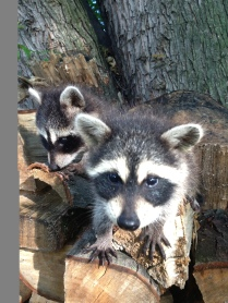 RACCOONS MAY 13, 2014