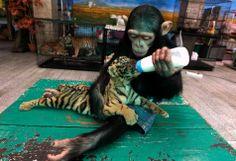 Tiger and chimp